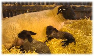 2 day old lamb's by Bentley Olympic Gold
