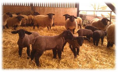 3 week old lamb's. Centre lamb by Bentley Patriot