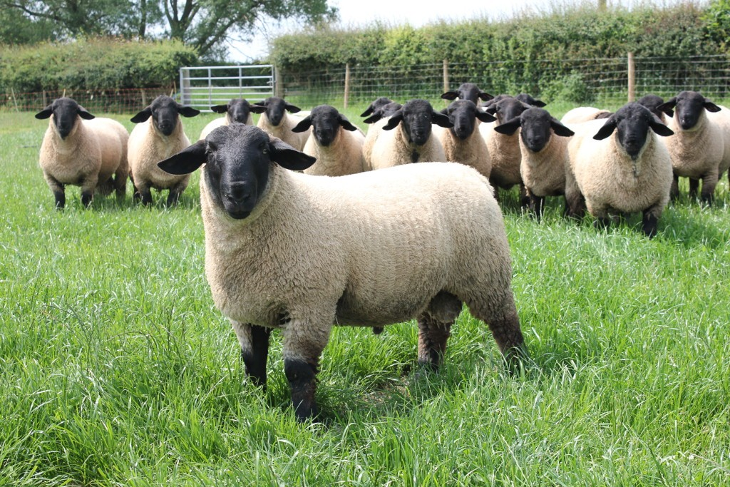 Bentley Suffolk Ram lambs June 2015