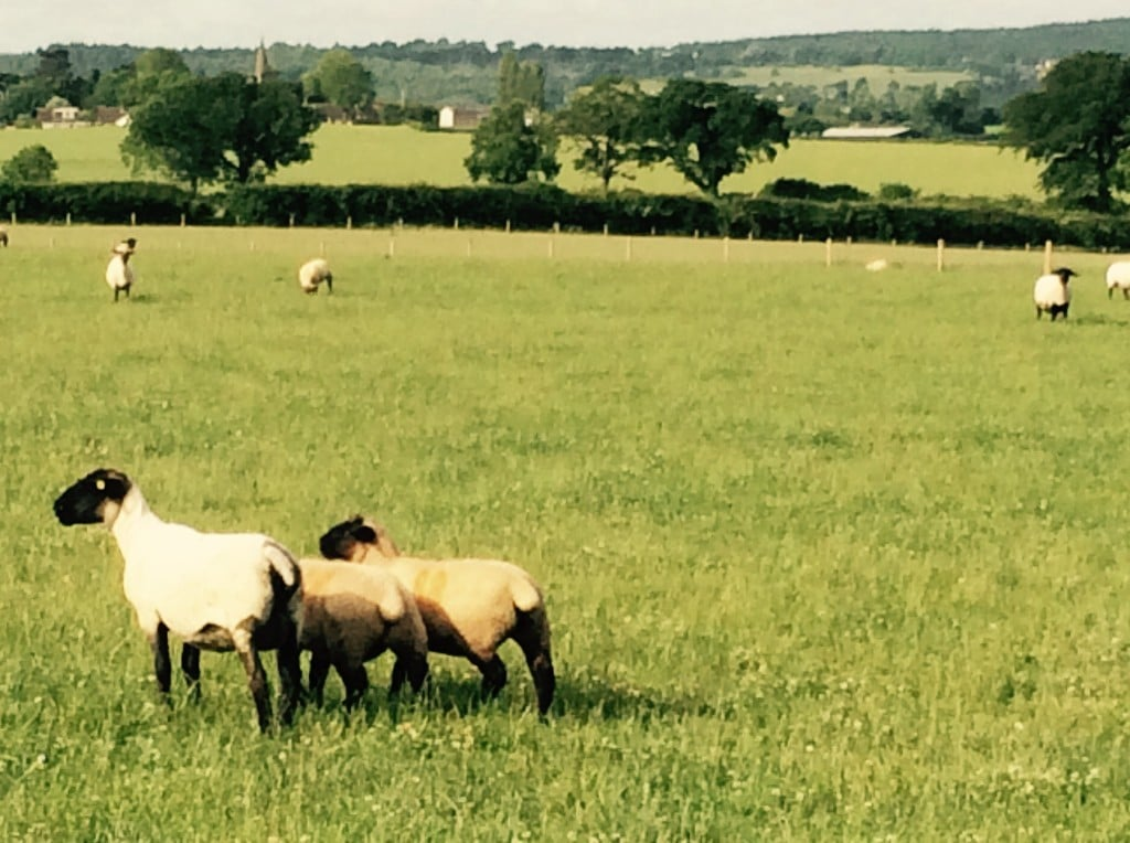 Bentley Suffolk Shearling Rams - ewe with lambs