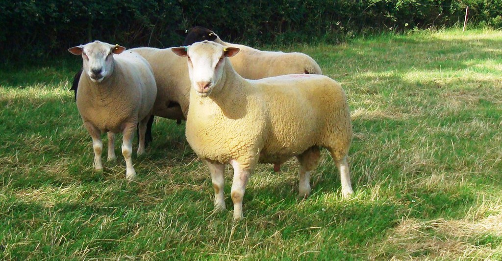 Stock Ram - Foulrice Marwood
