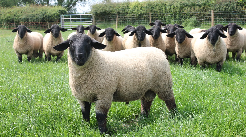 Pedigree Suffolk Sheep Breeders Bentley Suffolks