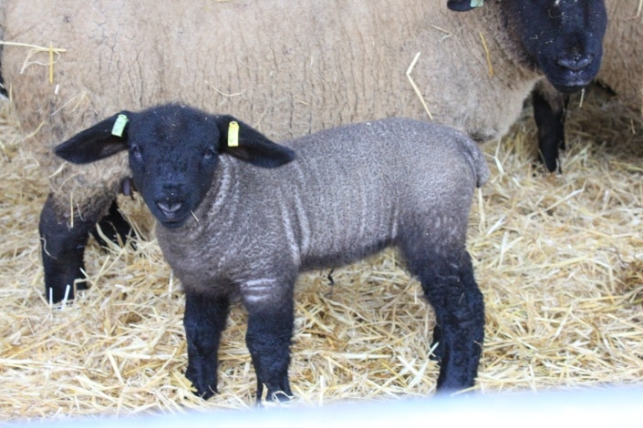 Grimaldi ewe lamb