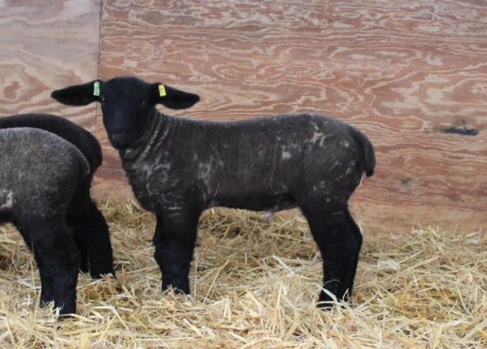 Sapphire ram lamb