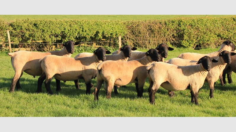 Pedigree Suffolk Sheep Breeders - Bentley Suffolks