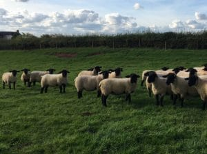 Inlamb ewes for sale now