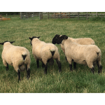 Bentley shearling Rams for sale in 2018