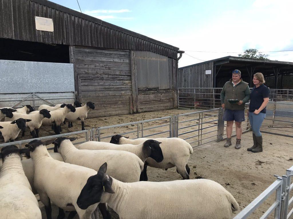 Bentley Suffolk sired lambs at 13 weeks old